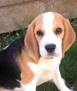 Home_wanted_lavender_beagle